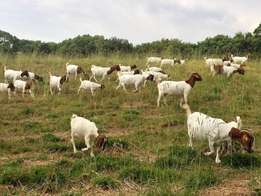 Boer Goat Buck/Ewes x74 (16 months old) for sale