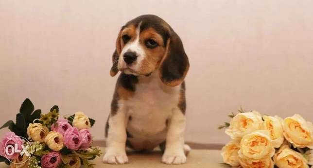 Beagle puppies Ready For Shipping From Kiev Full documents