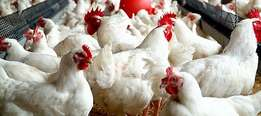 healthy Large Live Broiler Chickens