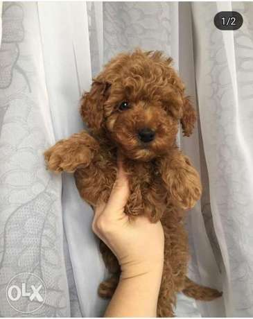 Best quality and best price imported toy poodle puppies, توي بودل