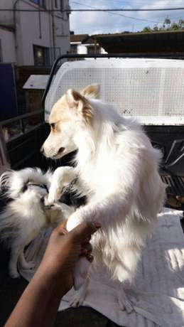 QUICK SALE one year old Japanese Spitz Hurlingham - image 1
