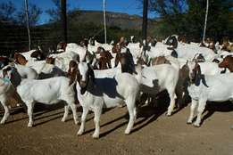 R400 Full blood Boer goats for sale