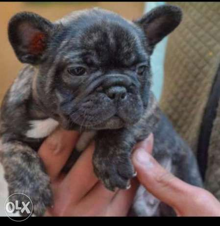 Imported French Bulldog puppies with European Passport, Pedigree and m