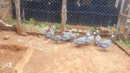 Special helmeted guinefowls, from botswana,