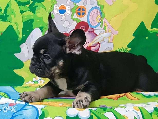 Tri color french bulldog puppies, top quality with Pedigree