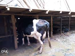 Pedigree cows on sale