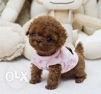 Beautiful teacup poodle puppies available.