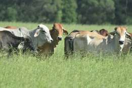 brahman heifers young males and females