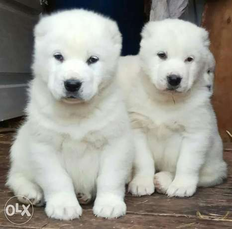 Imported alabai puppies with pedigree