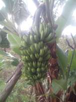 Bananas & Tissue Culture seedlings available