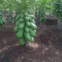 Hybrid seeds of pawpaw, corn etc available for sale