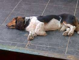 long haired basset hound