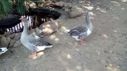 Family of 3 geese for sale