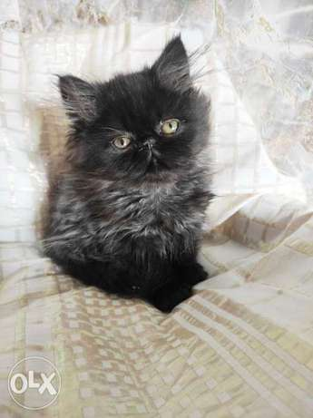 Imported Persian Male 6 weeks full documents from Ukraine