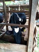 Dairy cow producing over twenty litres per day