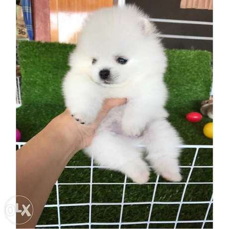 Pure White & cream Poms puppy's for sale