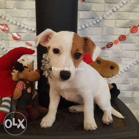 Jack Russell Terrier puppies for sale. Fulfill your child's dream