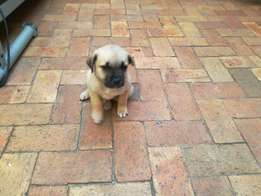 Male puggle for sale