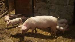 Served Sow Pigs