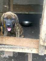 Massive box head Boerboel and Rottweiler puppies available for sale
