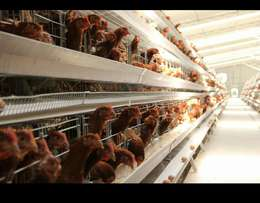 Layers chicken cage at kes25000