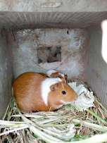Guinea Pig for sell