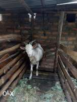 He Tougenberg dairy goat
