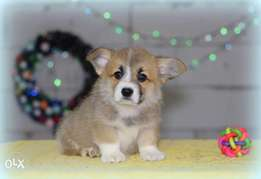 """Welsh corgi Puppies Ready for reservation """" Imported"""""""
