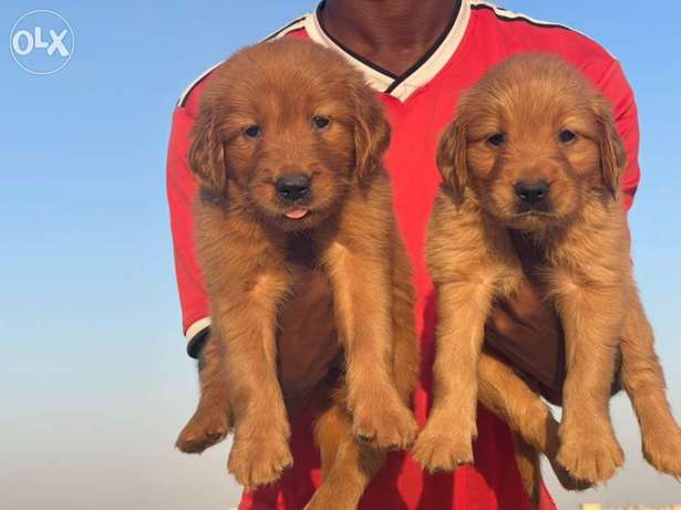 amazing Chocolate Golden Retriever puppies Male and female ready now