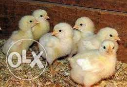 A day old chicks & turkey