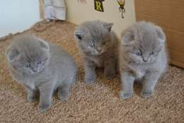 Active And Amazing Scottish Fold Kittens Available.