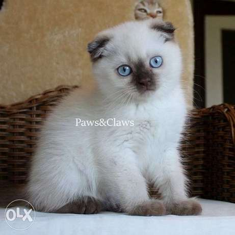 Scottish The boy is deaf, 2 months old, with blue eyes.