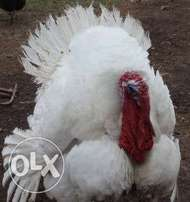 Organic Live Imported Turkey