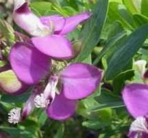 Polygala . Plants cheap
