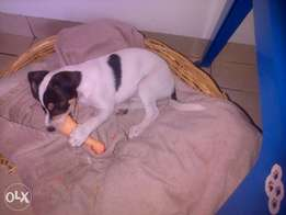 10 week Pure Breed Jack Russel ( black and white female)