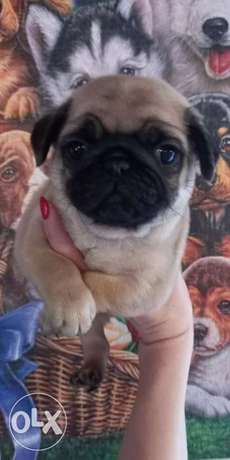 Pug Male Imported 7 weeks Full Documents Top Quality