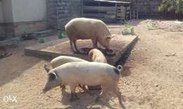 Foreign breed pigs in ilorin kw st