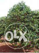425 Acres, with well attended Coffee Plantation for Sale