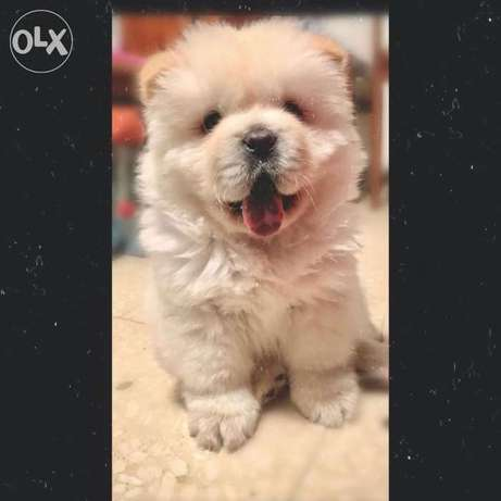 Chow chow puppy تشاو تشاو