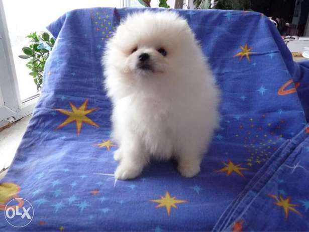 White & cream Poms puppy's for sale رابغ -  4