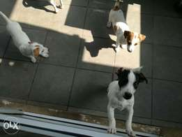 Purebred Jack Russell Pups For Sale