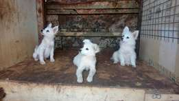Pets on sales. Pure breed Japanese spitz.
