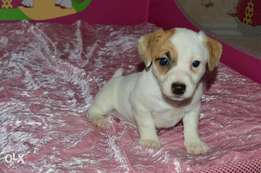 """Jack Russell Puppies Ready for reservation """" Imported"""""""