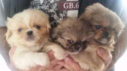 Picanese pups for sale