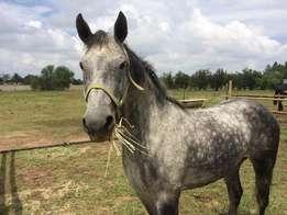 Dapple Grey pony