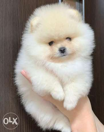 Now In Egypt Teddy Face Mini Pomeranian FROM EUROPE