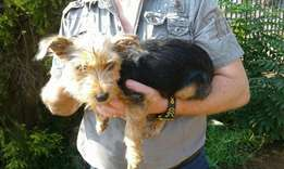 2 year's old yorkie looking for a good new home