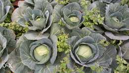 Cabbage in Nyeri