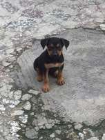 Pure breed 6 weeks old Rottweiler puppy