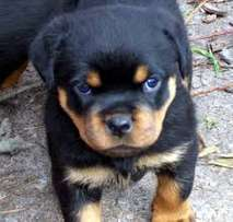pure breed rottweilers puppies
